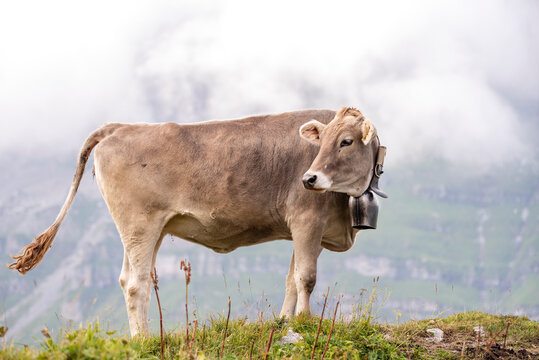 Brown young cow on a peak of the swiss alps looking back
