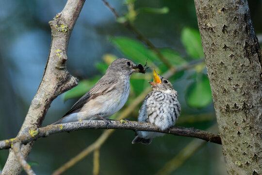 Spotted flycatcher feeds a chick // Grauschnäpper füttert Jungtier (Muscicapa striata)