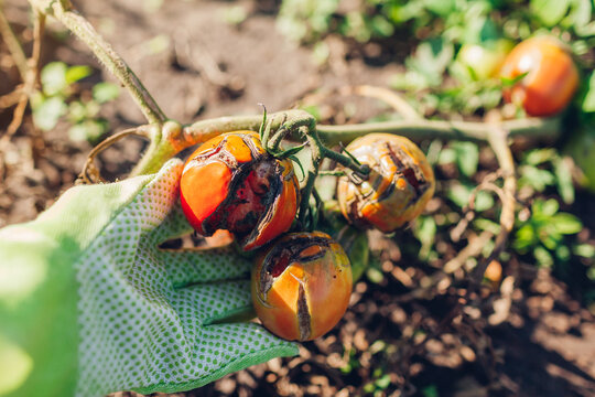 Tomatoes infected with late blight or Phytophthora. Close up of cracked tomatoes with disease and rot in farmer's hand