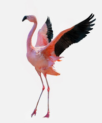 fine red large flamingo with spread wings
