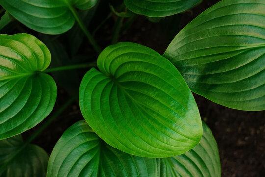 Fresh vibrant green leaves Hosta plant low key top view. Greenery background dark and moody style wallpaper screensaver. Dynamic backdrop. Botanical design, season gardening, natural flora environment