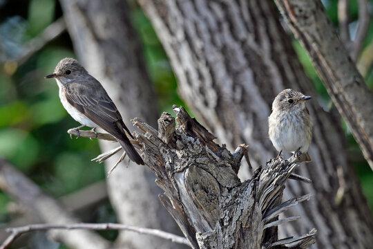 Spotted flycatcher with young bird // Grauschnäpper mit Jungvogel (Muscicapa striata)