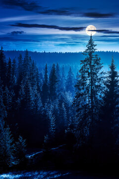 coniferous forest at foggy night. trees at the foot of a hill in full moon light. blue sky with fluffy clouds. idyllic countryside scenery