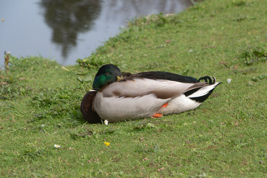 Mallard duck on the bank of a river