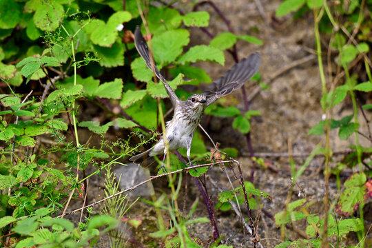 Spotted flycatcher // Grauschnäpper (Muscicapa striata)