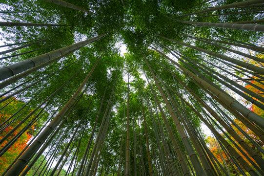 Bamboo grove, bamboo forest at Arashiyama in Kyoto, Japan