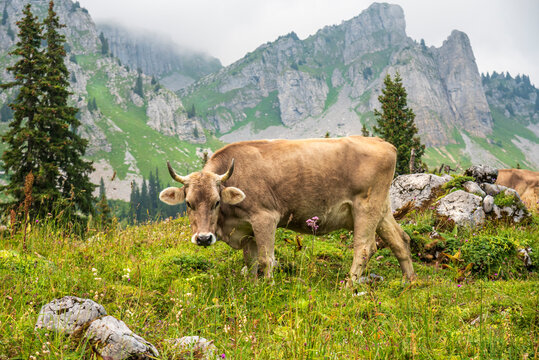 swiss brown cow up in the Glarus alps in Switzerland surrounded by mountain peaks and flowers