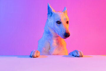 Fototapeta Portrait of purebred dog, White Shepherd isolated over studio background in neon gradient pink light filter. Concept of beauty, action, pets love, animal life. obraz