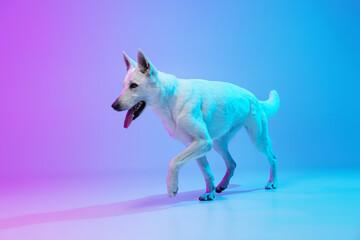 Fototapeta Funny big dog, White Shepherd isolated over studio background in neon gradient blue purple light filter. Concept of beauty, action, pets love, animal life. obraz