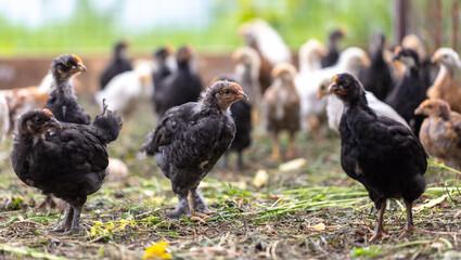 Fototapeta Portrait of a little chicken on the farm. obraz
