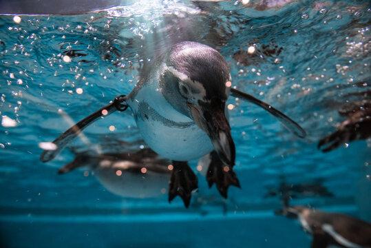 Penguin diving under water, underwater photography