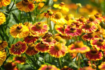 pszczoła i dzielżan w słońcu