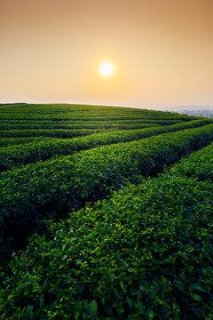 Terrace Green Tea plantation landscape at morning, Chiang mai, Thailand