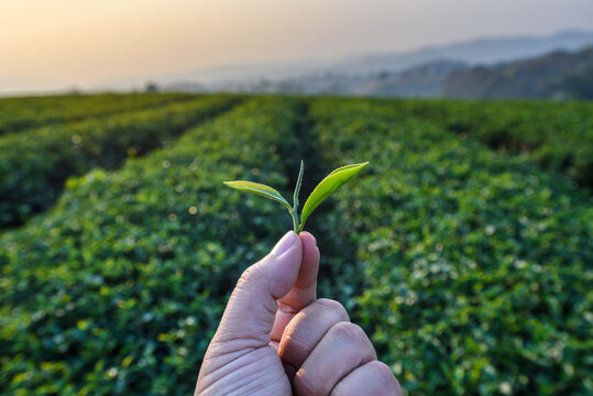 farmer hand holding green tea leaves in tea plantation background at sunrise