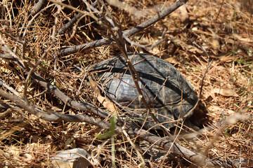 Fototapeta dziki żółw grzebie w ściółce  obraz