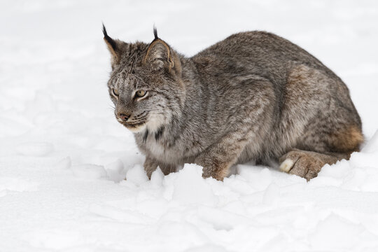Canadian Lynx (Lynx canadensis) Sits in Snow Looking Left Ears Up Winter