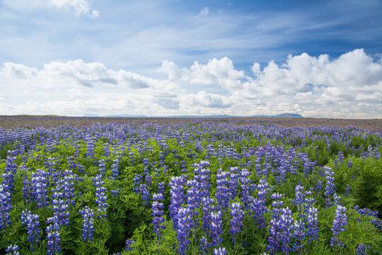Field of blue wild flowers in summer, Iceland