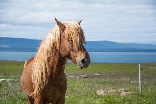 Close-up of Icelandic horse with lake and mountains in the background