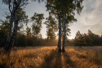 Fototapeta Wschód słońca nad młodymi brzozami obraz