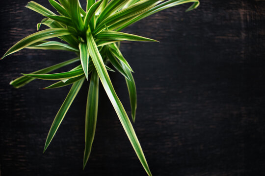 Isolated spider plant on a dark background