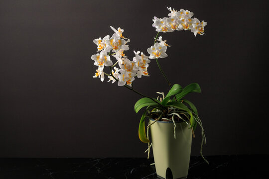 Rare white with yellow orange spots blooming small peloric orchid phalaenopsis in pot on a blurred dark grey background.