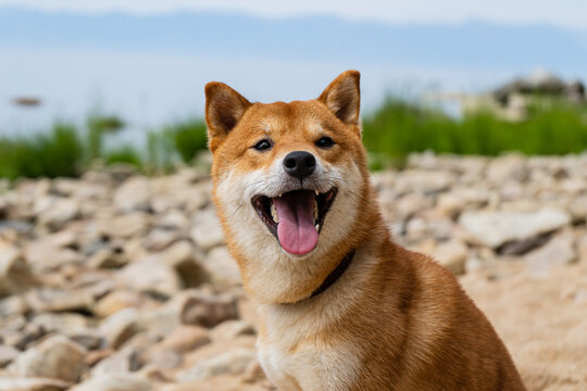 Happy red shiba inu dog. Red-haired Japanese dog smile portrait.