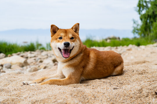 Happy red shiba inu dog is lying on the sand. Red-haired Japanese dog.