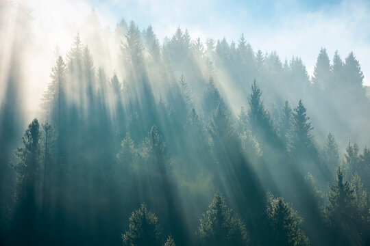 sunlight through fog and forest. coniferous trees on the hill. wonderful autumn nature background in morning light