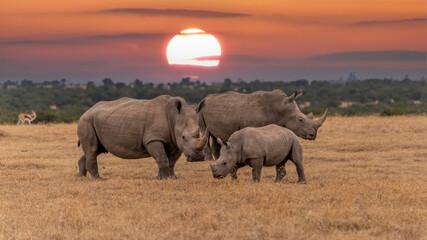 White Rhinoceros Ceratotherium simum Square-lipped Rhinoceros at Khama Rhino Sanctuary Kenya Africa.sunset