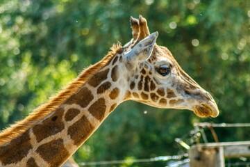 Głowa żyrafy z profilu na zielonym rozmytym tle, zwierzę w ogrodzie zoologicznym