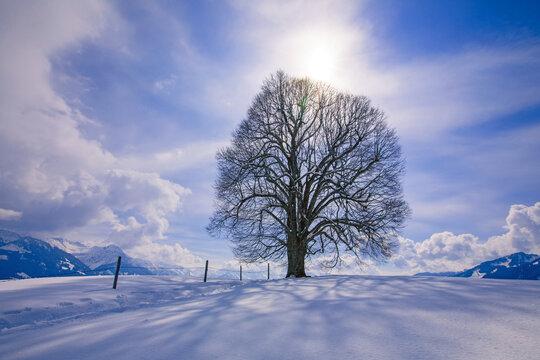 Allgäu - Schweineberg - Linde - Baum - Ofterschwang - Winter