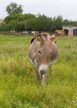 African donkey walking in her beautiful meadow full of flowers