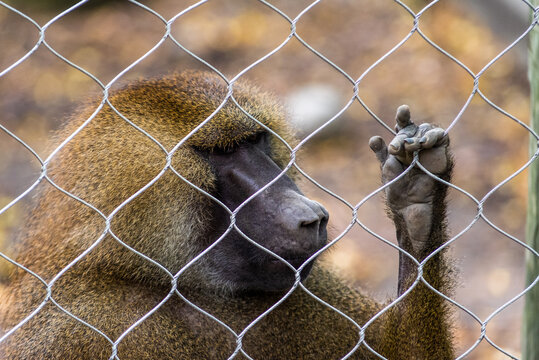 close up of a baboon