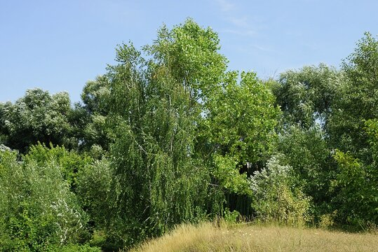 part of a summer park of green deciduous trees and dry gray grass  against a blue sky background