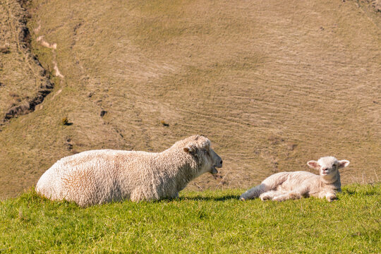 ewe with newborn lamb sunbathing on spring meadow with blurred background and copy space