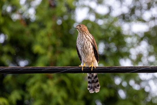juvenile Coopers hawk