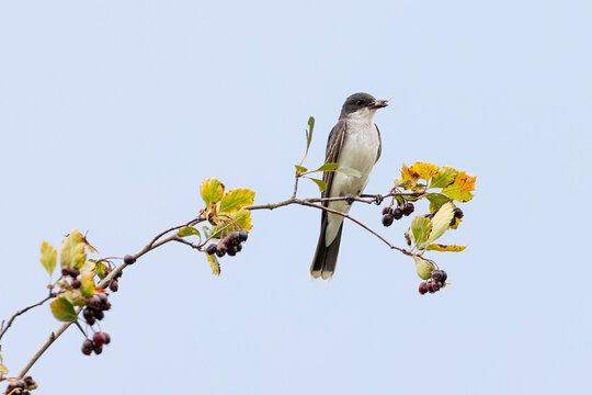 Eastern kingbird bird
