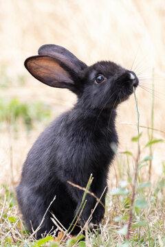 Beautiful young black rabbit