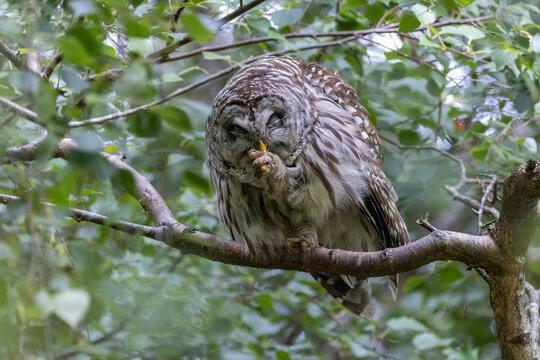 Barred Owl Bird