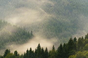 górski las świerkowy we mgle