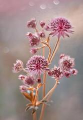 Kwiaty Astrantia Major bukiet