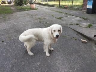 Fototapeta white labrador retriever obraz