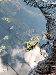 Fototapeta frog in the pond obraz