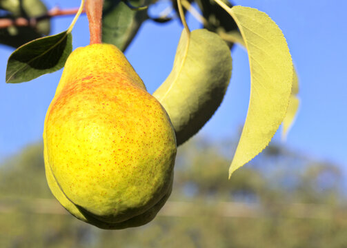 Beautiful ripening pear in selected focus