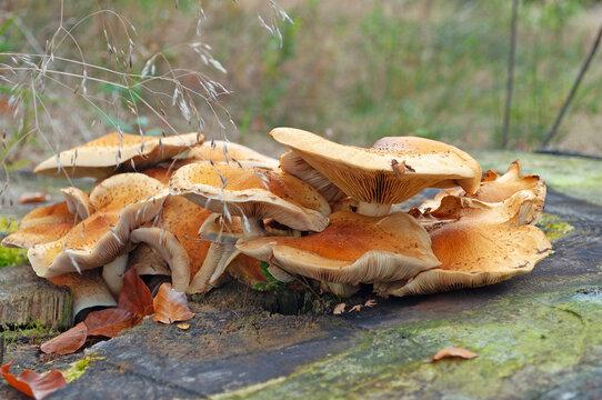 Fruchtkörper vom Hallimasch, Armillaria, in einer Nahaufnahme