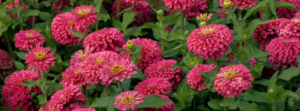 A display of Zinnia flowers in a field near Canby Oregon.  Zinnia is a genus of plants of the sunflower tribe within the daisy family.