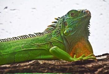 Młody legwan zielony - Young Iguana