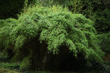 bambus, roślina, krzew, krzewy