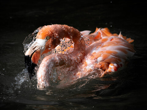 A flamingo bathing in the water with water drops on it