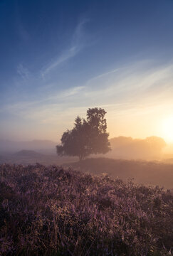 Foggy sunrise over Dutch heath landscape with flowering heather. Drente, the Netherlands.